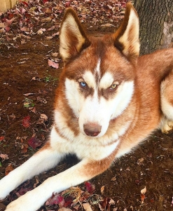AKC Siberian Husky Looking For Lady Friend Listing Image