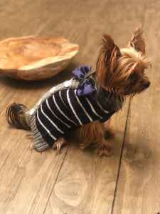 Miniture Yorkie Male |  Ready to breed  Listing Image