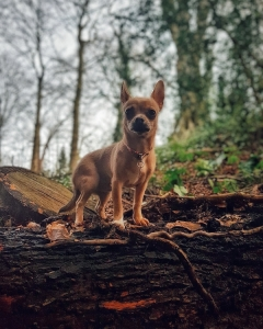 Stunning red fawn sable chihuahua for stud Listing Image Thumbnail