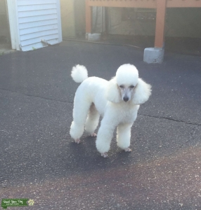 AKC Toy Poodle Listing Image