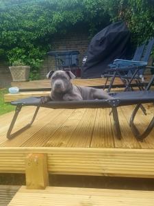 Blue Staffordshire Bull Terrier  Listing Image