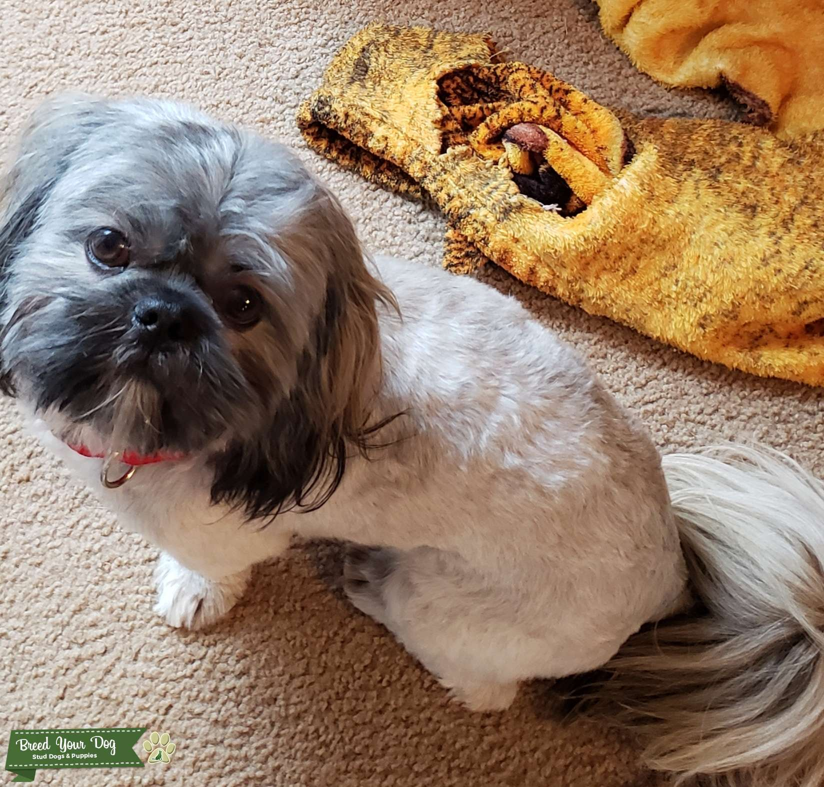 Looking to stud out my 1 year Shih-tzu.  Listing Image Big