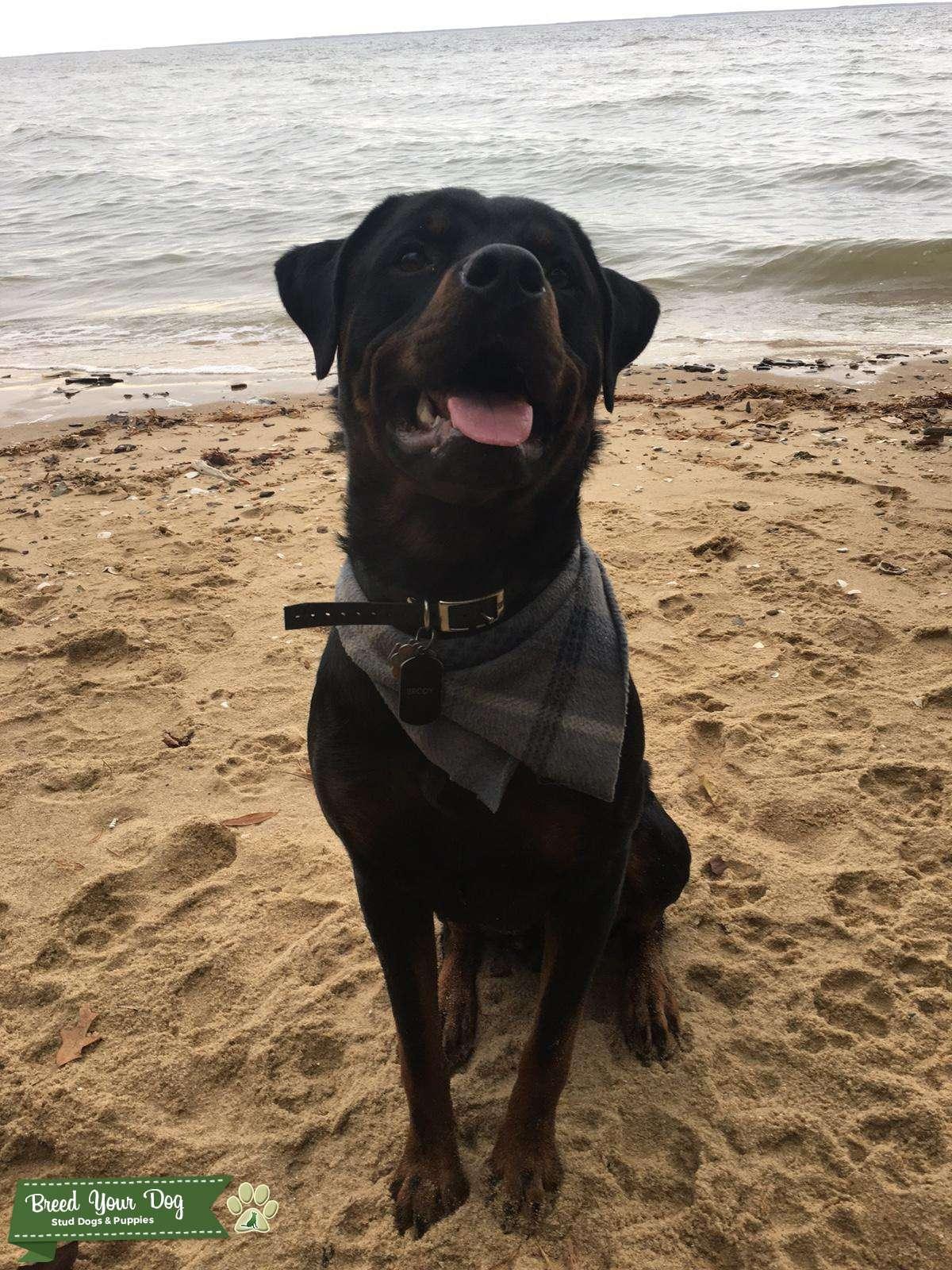 Purebred Rottweiler for Stud Listing Image Big