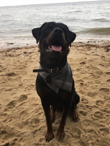 Purebred Rottweiler for Stud Listing Image Thumbnail