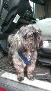 Male shih-tzu looking for female to mate with  Listing Image Thumbnail