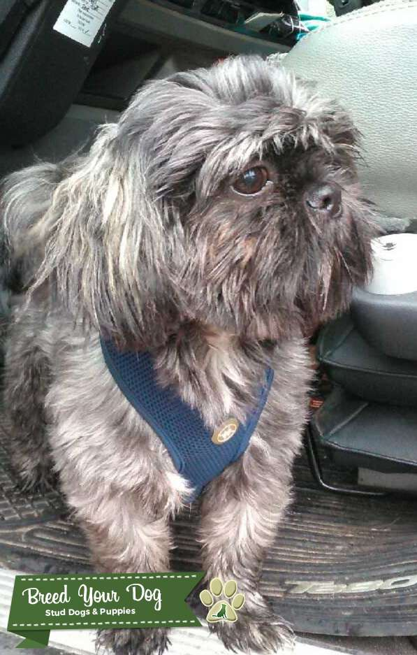 Male shih-tzu looking for female to mate with  Listing Image Big