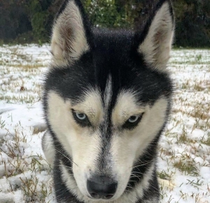 Beautiful Siberian Husky  Listing Image