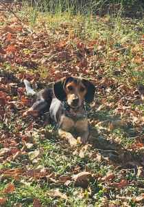 Bluetick Beagle Stud  Listing Image