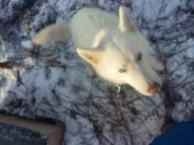 Pure white APR Siberian Husky male for stud Listing Image