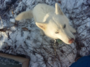Pure white APR Siberian Husky male for stud Listing Image