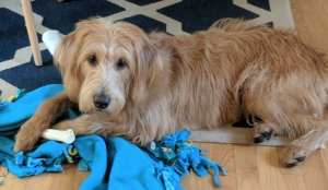 Pretty Labradoodle Looking for a Puppy Daddy Listing Image