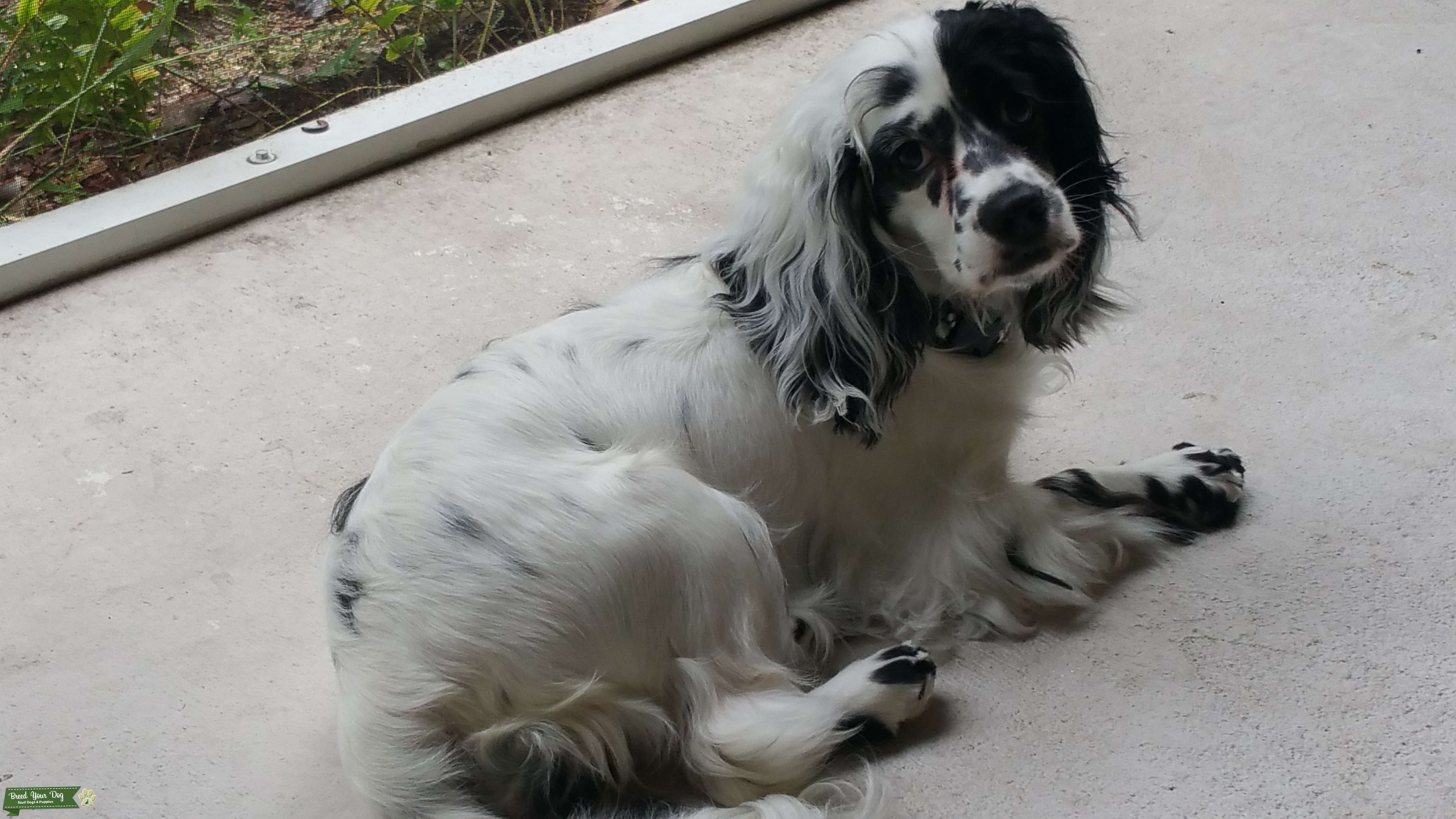Beautiful cocker looking for love! Listing Image Big
