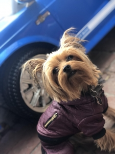 Meet The Adorable Handsome 2pac The Yorkie  Listing Image