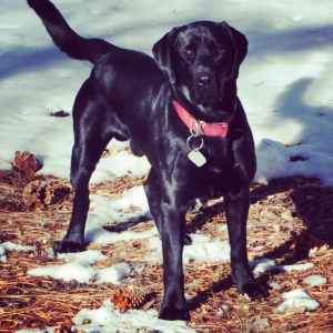 AKC English Labrador Listing Image