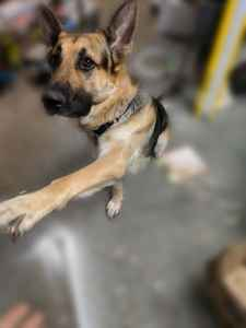 Large GSD amazing temperment Listing Image