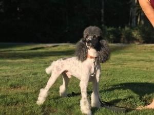Moyen Poodle Stud Listing Image