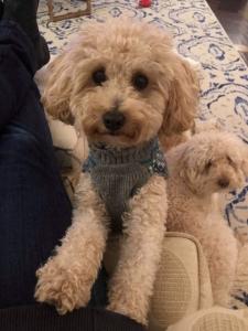 Miniature Poodle Stud Listing Image