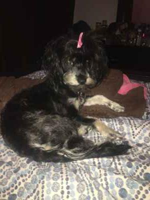 Looking to breed adorable toy poodle mix Listing Image