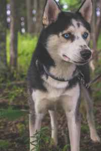 Healthy Black and White Male Siberian Husky Ice Blue Eyes Listing Image