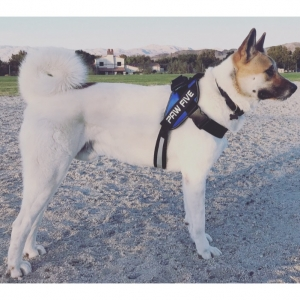 2 Year Old Male Akita Listing Image