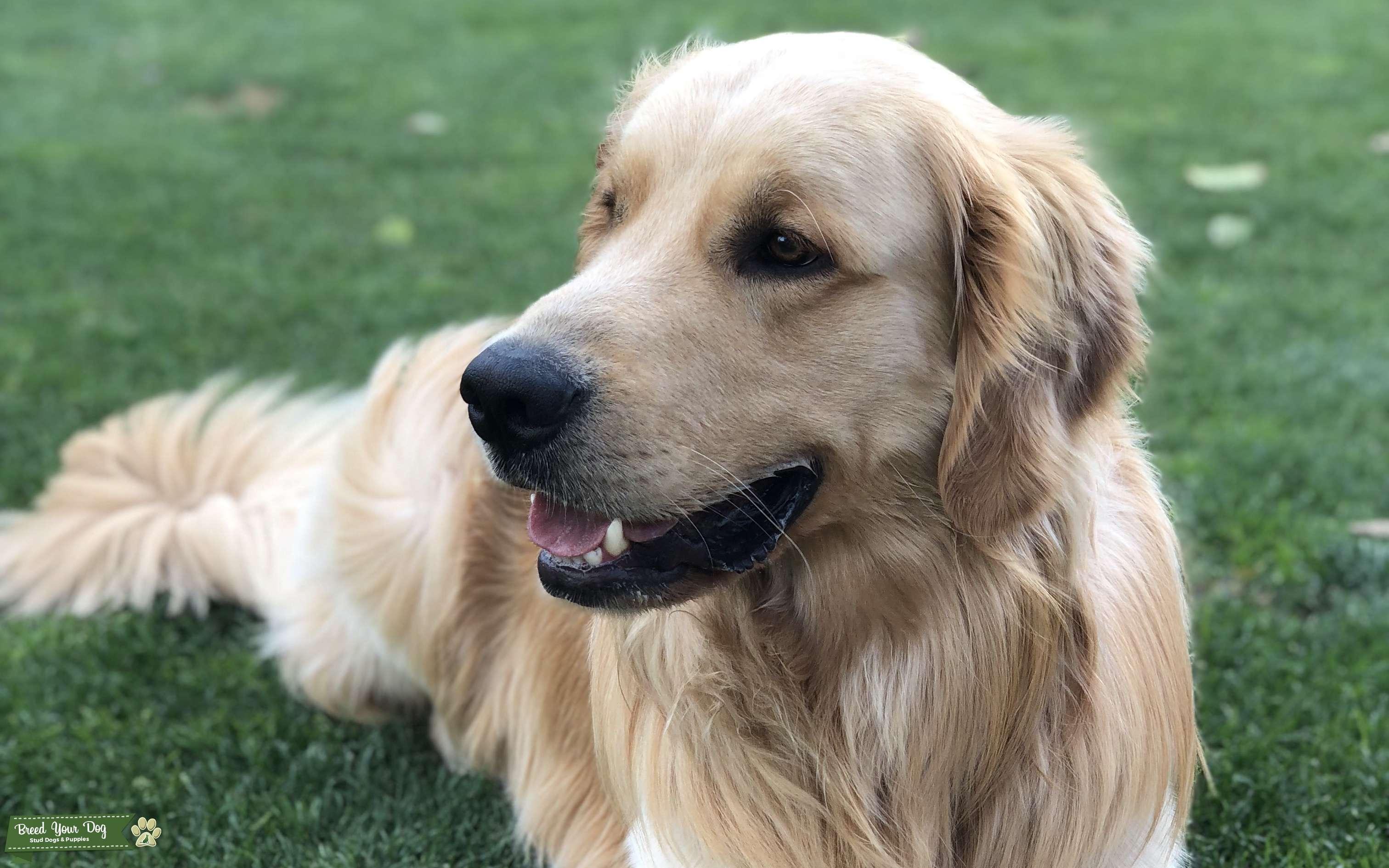 Stud Dog Akc Golden Retriever Breed Your Dog