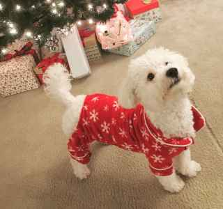 One Year Old Male Stud - Purebred Bishon Frise  Listing Image