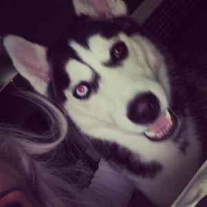 Black and white (bi eyed) Siberian husky  Listing Image