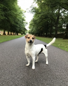 Tri coloured male jack russell Listing Image