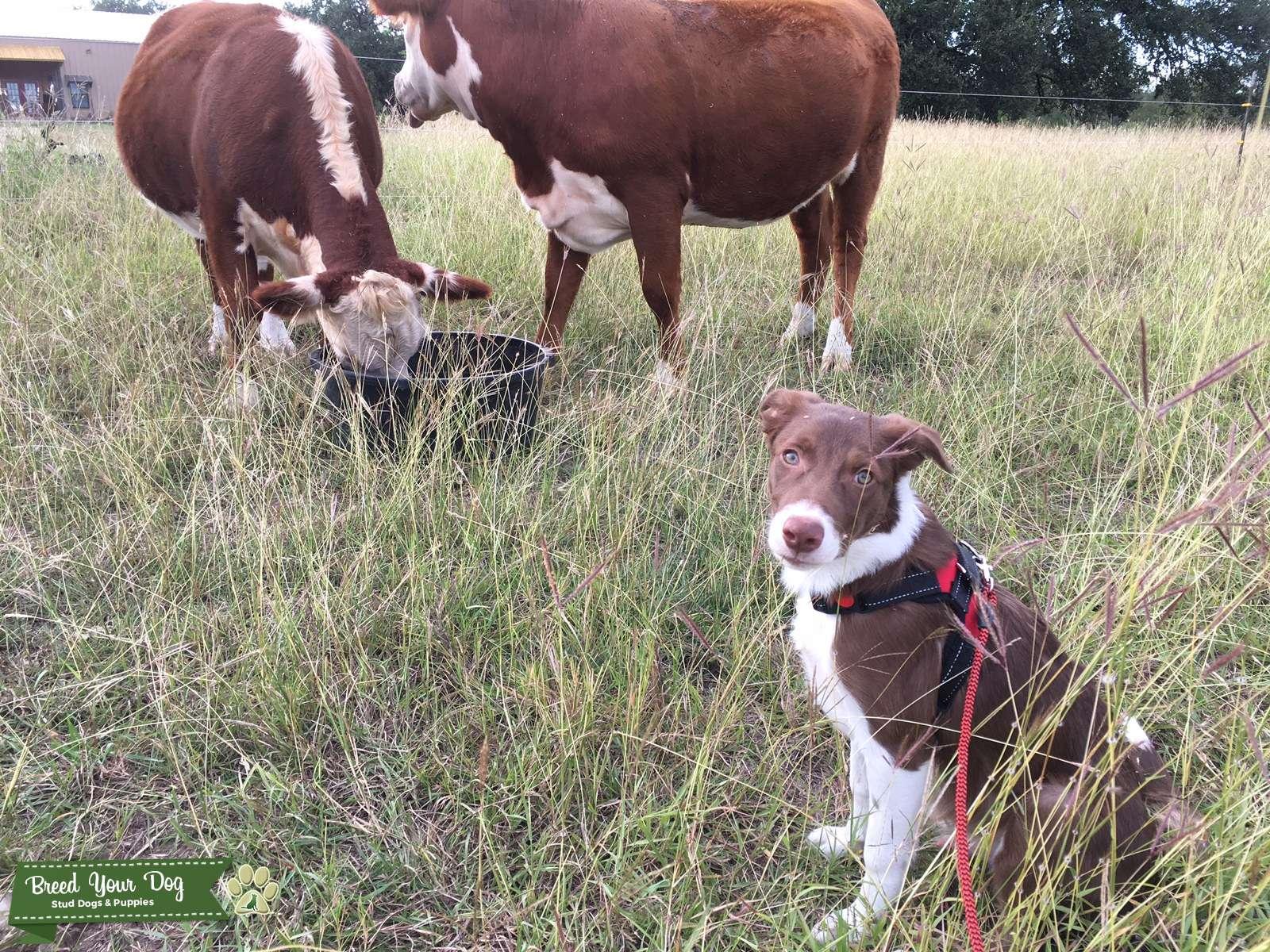 Stud Dog Red Border Collie Stud Ckc Breed Your Dog