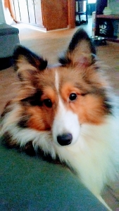 Sheltie Stud Full White Collar Listing Image
