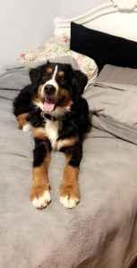 Bernese Mountain Dog Listing Image