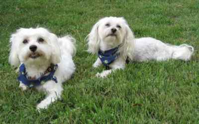 MALE MALTESE FOR STUD 100% PURE BRED Listing Image