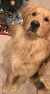Golden Retriever 2 year old stud AKC limited Listing Image