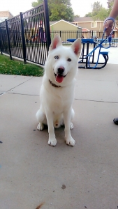 Artic wolf husky mix Listing Image
