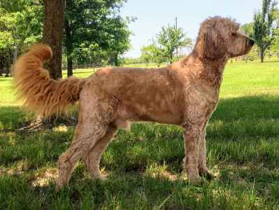 Experienced Goldendoodle STUD - Apricot F1 Generation Listing Image
