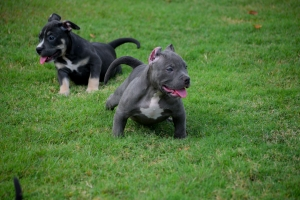 Exotic American Bully Listing Image