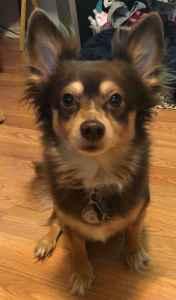 Sweet brown & tan Chihuahua mix Listing Image