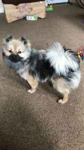 Pomeranian  Listing Image