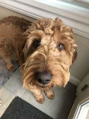Handsome Red/Apricot Goldendoodle Stud Service. Hip & Elbow tested. 2.5 y.o. Listing Image