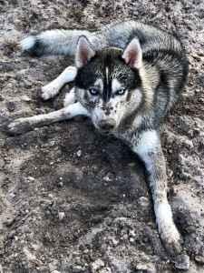 Purebred Husky Listing Image