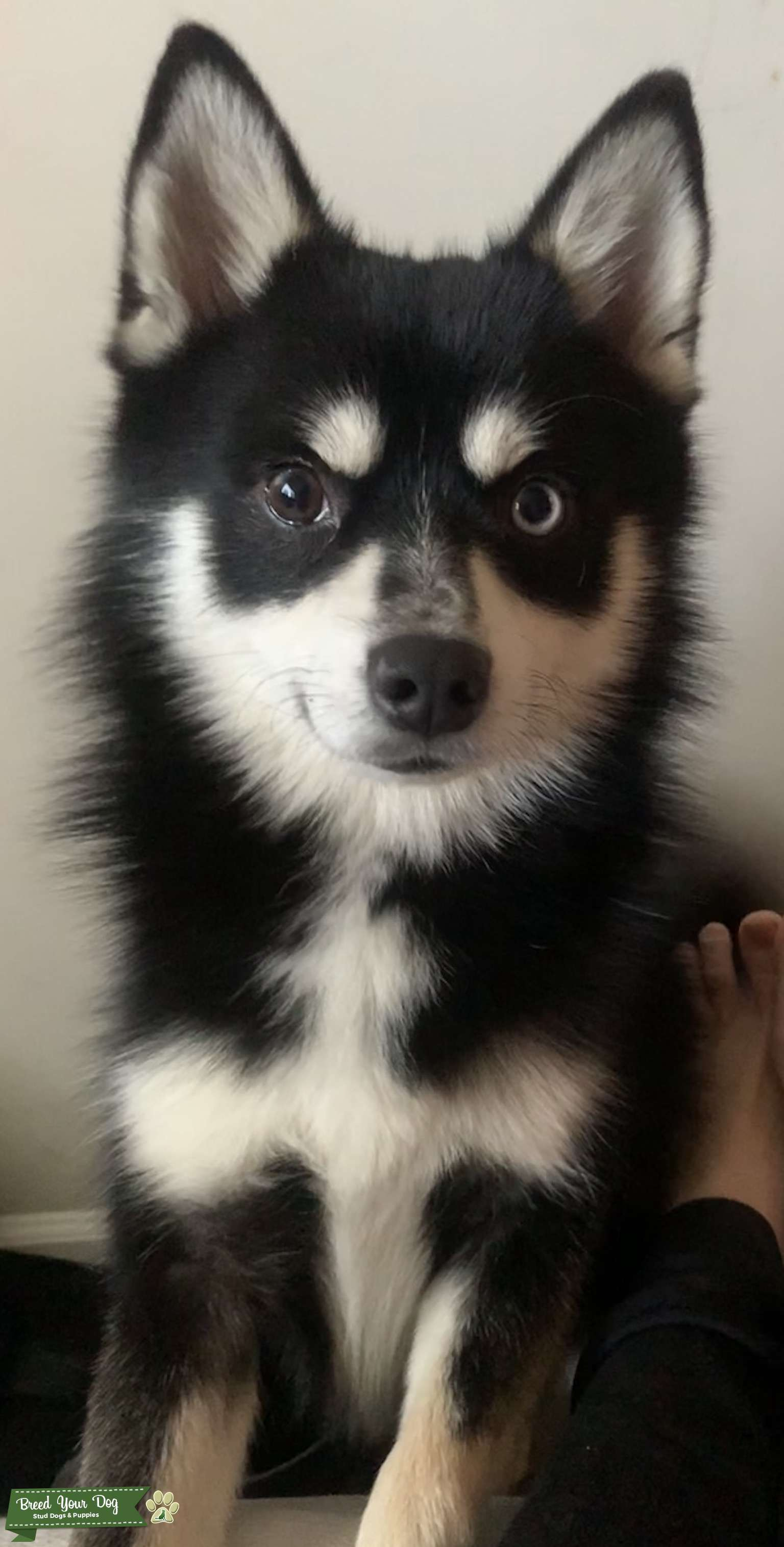 Pomsky male looking for bitch Listing Image Big