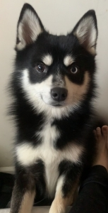Pomsky male looking for bitch Listing Image Thumbnail