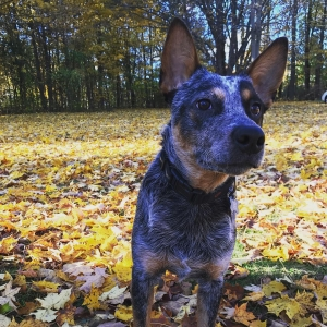 Strong Blue Heeler for Stud Listing Image