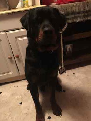 AKC German Rottweiler looking for a lady friend Listing Image
