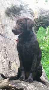 Chocolate Labrador  Listing Image