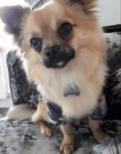 Chihuaua stud dog  Listing Image