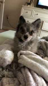 Blue Merle Pomeranian looking for a Bitch Listing Image