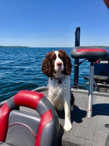 Male English springer spaniel Listing Image
