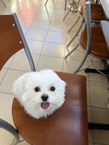7 month old Maltese Service Dog for Stud Listing Image