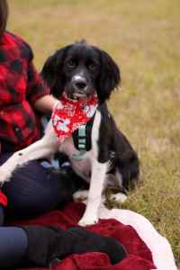 AKC Female English Springer Spaniel looking to breed after she is a year old Listing Image